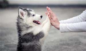 Il cane comprende i gesti umani-300x180