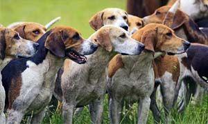 Il cane e predatore sociale-300x180