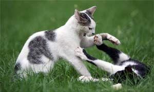 Il comportamento territoriale nei gatti domestici-300x180