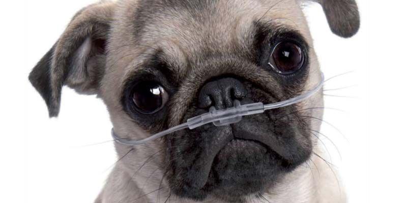 Le patologie respiratorie del cane6-800x400
