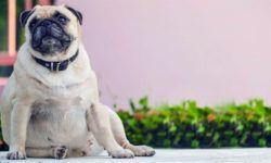 Cani e gatti sempre più grassi1-800x400