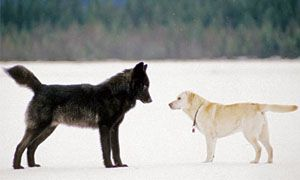 Canis lupus e Canis familiaris-300x180