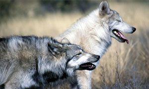 Il cane e laddomesticamento del lupo-300x180
