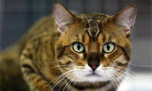 La storia della domesticazione del gatto-300x180