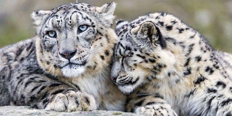 leopardo delle nevi-800x400