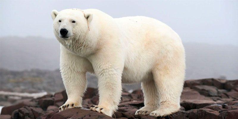 orso polare-800x400