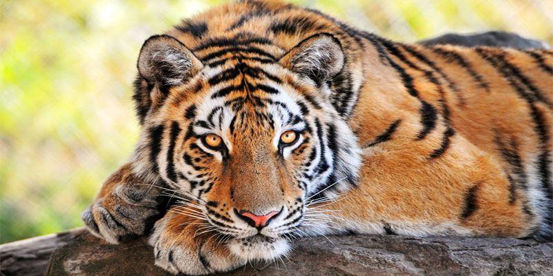 tigre-800x400
