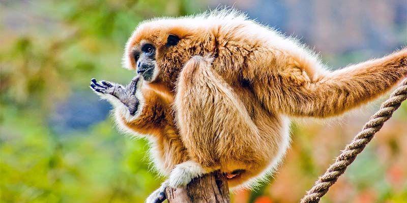 Gibbone di Hainan-800x400