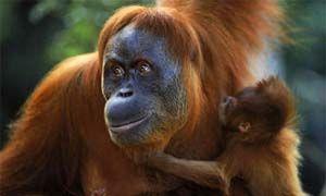 Gibbone di Hainan e Orango del Borneo-300x180