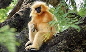 Langur dorato, gorilla-300x180