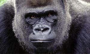 Lesperienza dei gorilla-300x180