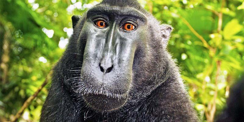 Macaco crestato-800x400