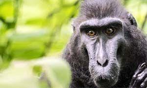 Macaco crestato di Celebes e Colobo Velleroso-300x180