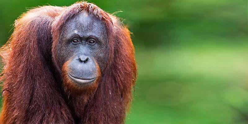 Orango del Borneo-800x400