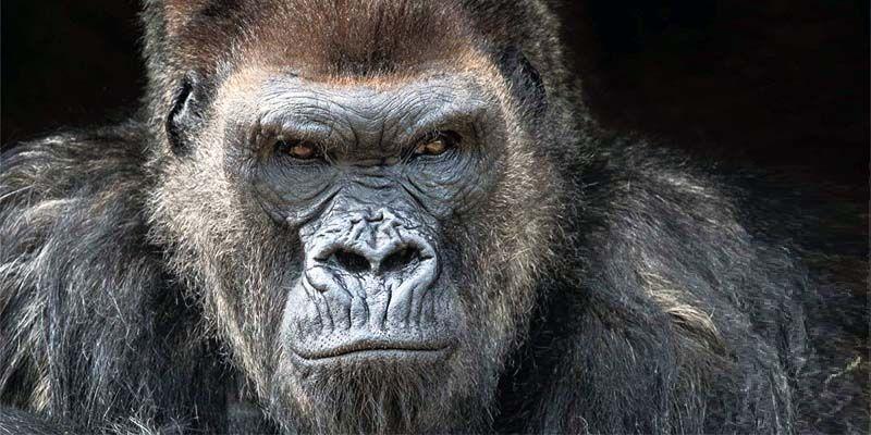 gorilla di pianura orientale-800x400