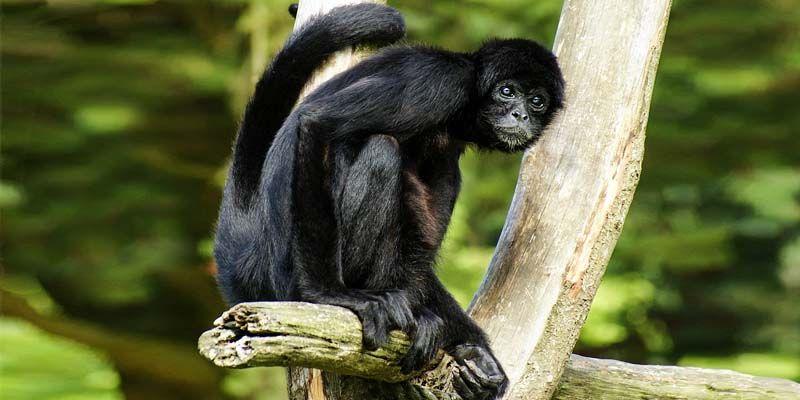 scimmia ragno-800x400
