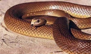 I serpenti piu velenosi del mondo-300x180