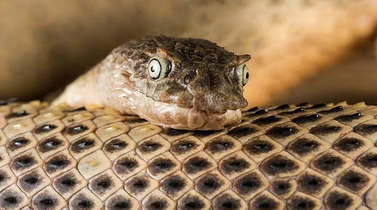 Serpente marino cornuto