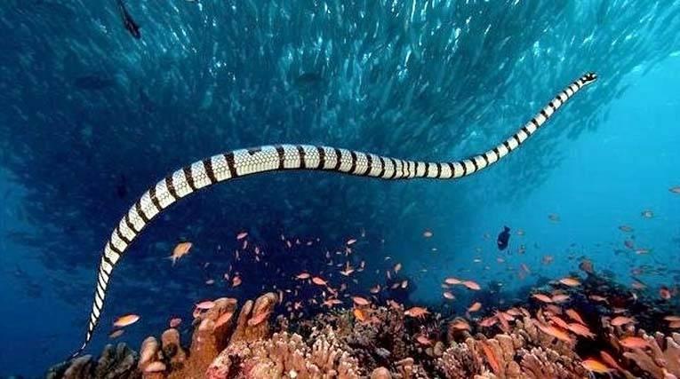 Serpente marino dal becco
