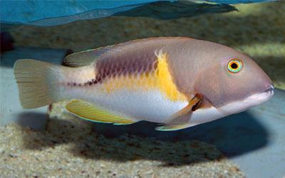pesci Choerodon anchorago