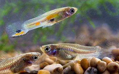 pesci Poecilia reticulata