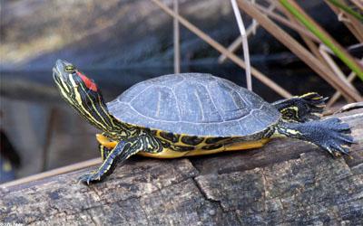 tartarughe dalle zampe rosse
