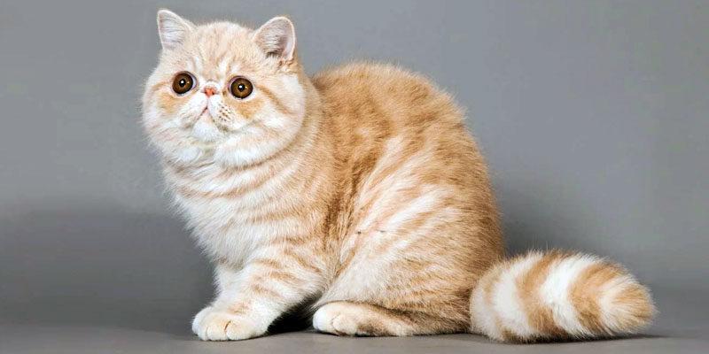 Il Gatto Exotic Shorthair Pelo Corto Tanto Fascino Best5it