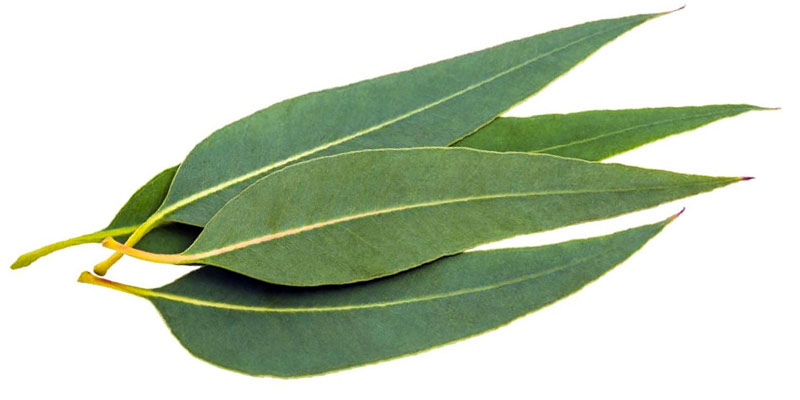 eucalyptus2-800x400