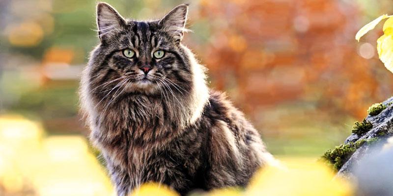 il gatto Norvegese1-800x400