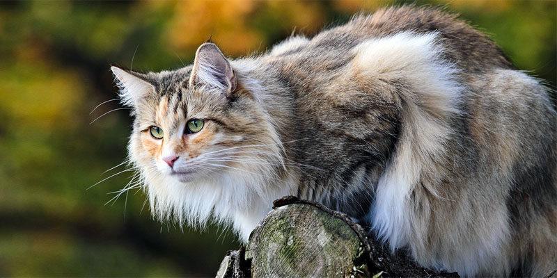 Il gatto Norvegese delle Foreste, l'amico dei Vichinghi