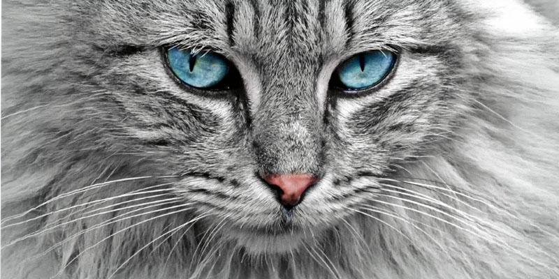 il gatto Norvegese2-800x400