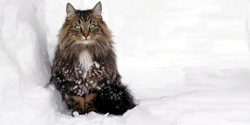 il gatto Norvegese7-800x400