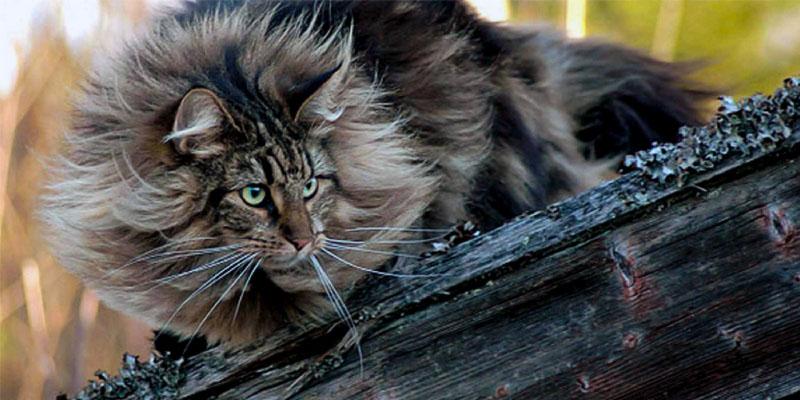 il gatto Norvegese8-800x400