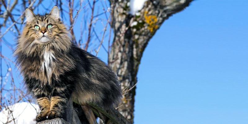 il gatto Norvegese9-800x400