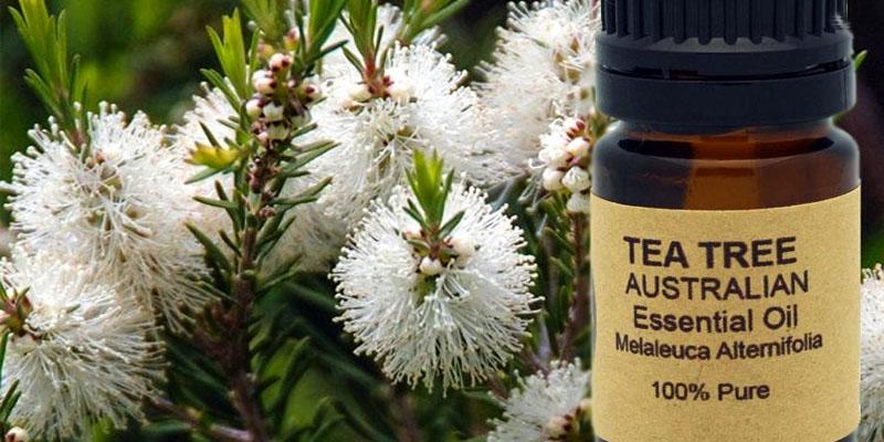 tea tree1-800x400
