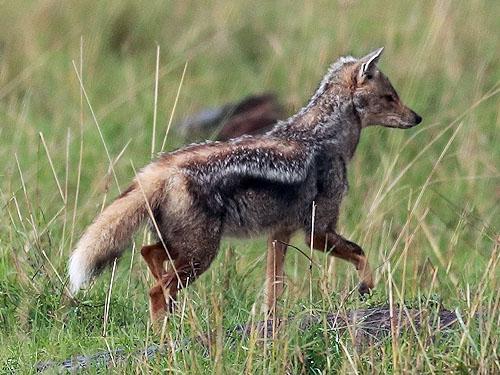 Canis adustus
