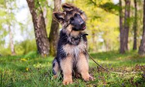 cane-che-inclina-la-testa-3-300x180