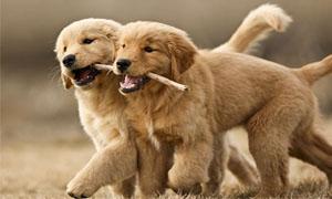 cani-giocano-tra-loro-1-300x180