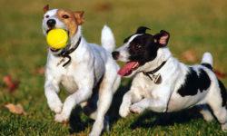 cani-giocano-tra-loro-1-800x400