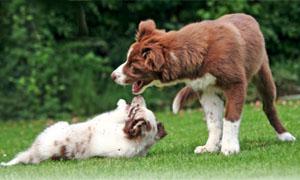 cani-giocano-tra-loro-2-300x180
