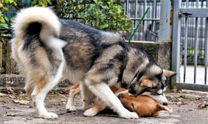 cani-giocano-tra-loro-3-300x180