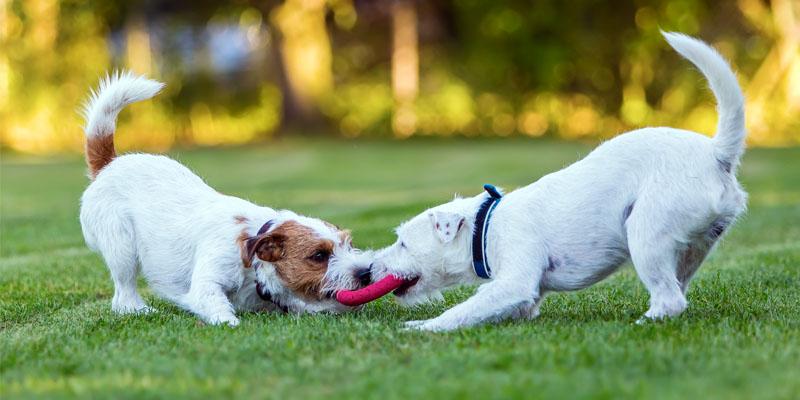 cani-giocano-tra-loro-4-800x400