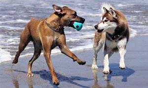cani-giocano-tra-loro-5-300x180