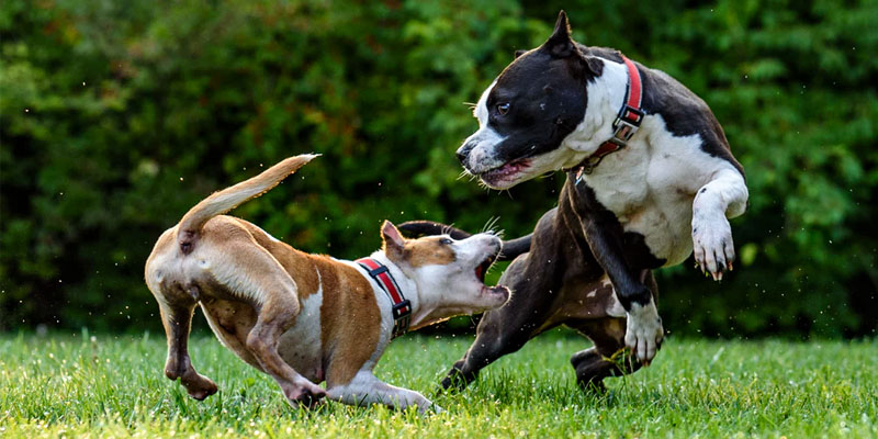 cani-giocano-tra-loro-5-800x400