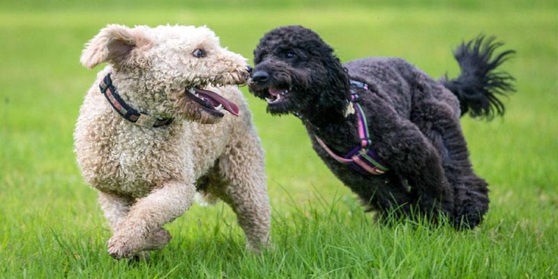 cani-giocano-tra-loro-6-800x400