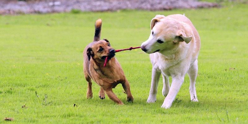 cani-giocano-tra-loro-7-800x400