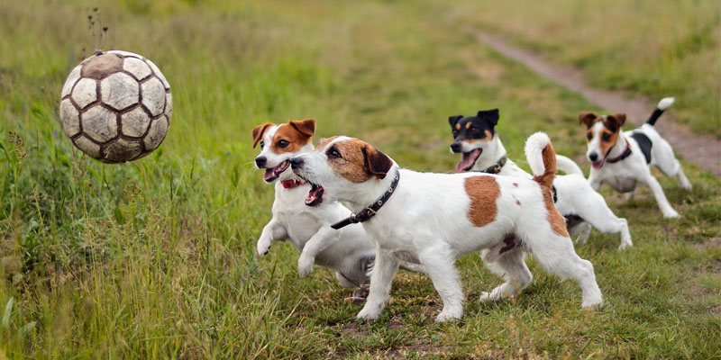 cani-giocano-tra-loro-8-800x400
