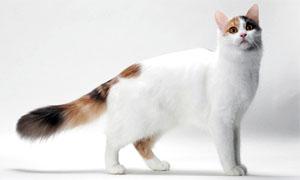 gatto-turco-van-1-300x180
