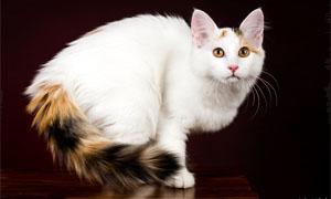 gatto-turco-van-2-300x180