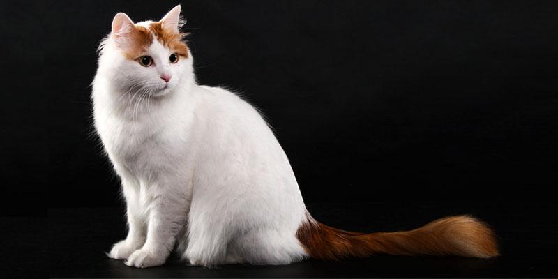 gatto-turco-van-2-800x400